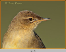 grasshopper-warbler-40.jpg