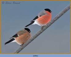 bullfinch-80.jpg