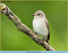 spotted-flycatcher-35.jpg