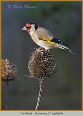 goldfinch-34.jpg