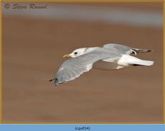 common-gull-34.jpg