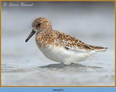 sanderling-91.jpg
