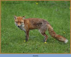 fox-64.jpg