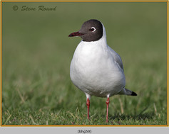 black-headed-gull-59.jpg