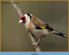 goldfinch-64.jpg