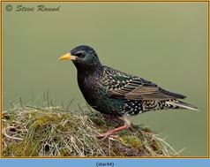 starling-44.jpg
