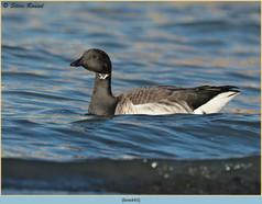 brent-goose-43.jpg