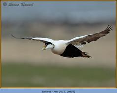 eider-duck- 92.jpg