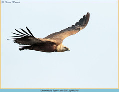 griffon-vulture-74.jpg