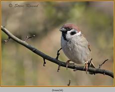 tree-sparrow-34.jpg