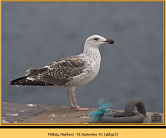 gt-b-backed-gull-13.jpg