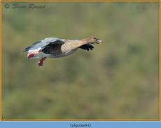 pink-footed-goose-94.jpg