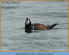 harlequin-duck-03.jpg