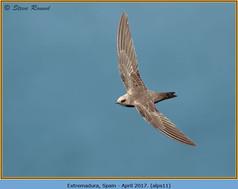 alpine-swift-11.jpg