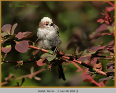long-tailed-tit-41.jpg