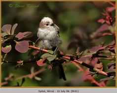long-tailed-tit-41.jpg