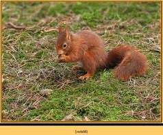 red-squirrel-08.jpg