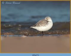 sanderling-71.jpg