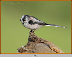 long-tailed-tit-61.jpg