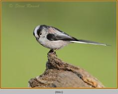long-tailed-tit-61.jpg