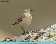 water-pipit-23.jpg