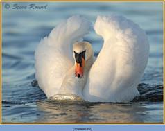 mute-swan-39.jpg