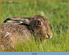brown-hare-94.jpg