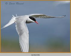 arctic-tern-36.jpg