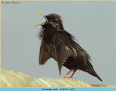 spotless-starling-23.jpg