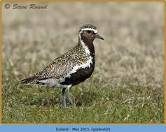 golden-plover-62.jpg