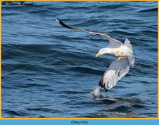 lesser-black-backed-gull-130.jpg