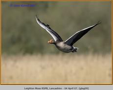 greylag-goose-09.jpg