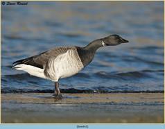 brent-goose-41.jpg
