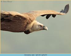 griffon-vulture-77.jpg