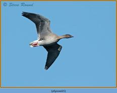 pink-footed-goose-65.jpg