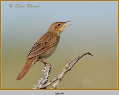 grasshopper-warbler-34.jpg