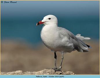 Audouin's Gull, Ichthyaetus audouinii standing on rocks at the coast