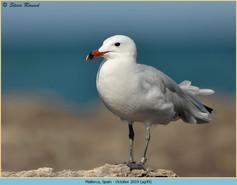 audouin's-gull-49.jpg