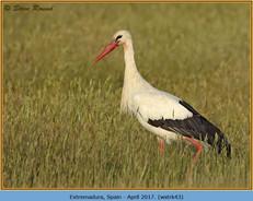 white-stork-43.jpg