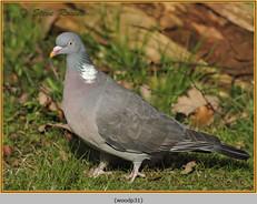 wood-pigeon 31.jpg