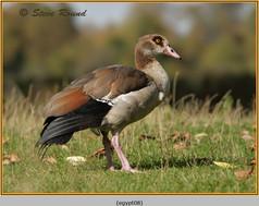 egyptian-goose-08.jpg