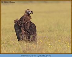black-vulture-34.jpg