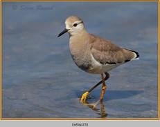 white-tailed-lapwing-23.jpg