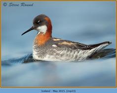 red-necked-phalarope-23.jpg
