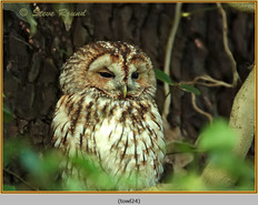 tawny-owl-24.jpg