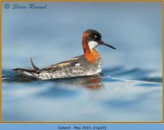 red-necked-phalarope-20.jpg