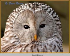 ural-owl-1c.jpg