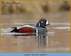 harlequin-duck-17.jpg