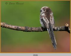 long-tailed-tit-48.jpg