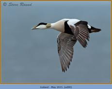 eider-duck- 90.jpg
